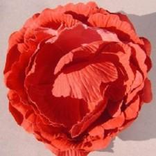 English rose Tomato ---
